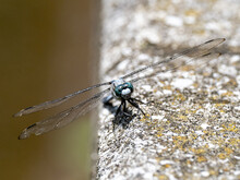 White-tailed Skimmer On Concrete Wall 1