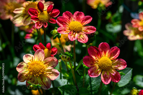 Cuadros en Lienzo Vibrant red, orange, and yellow dahlias blooming in a garden on a sunny day