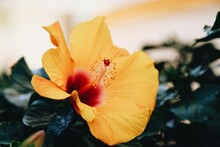 Close-up Of Yellow Hibiscus Flower Blooming Outdoors