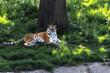 Tygrys bengalski leżący pod drzewem