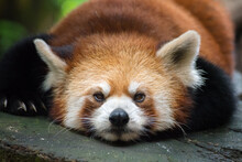 Close-up Portrait Of Red Panda Lying In Forest