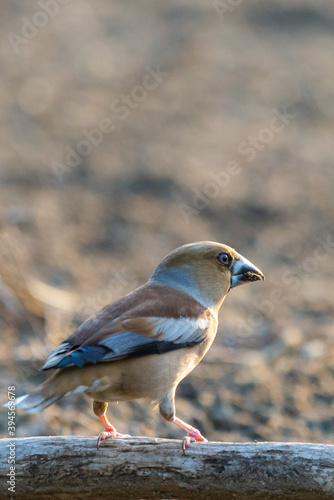 A common hawfinch or Coccothraustes coccothraustes Wallpaper Mural