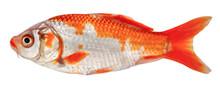 Koi Carp Fish Isolated. Side View Goldfish (Decorative Crucian Carp)