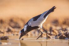 Blacksmith Lapwing (Vanellus Armatus) Foraging In A Small Lake