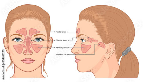 Fotografie, Obraz Sinuses anatomy front and side