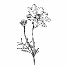 Branch With Flower Of Cosmea (Cosmos Bipinnatus, Mexican Aster, Garden Cosmos). Black And White Outline Illustration, Hand Drawn Work. Isolated On White Background.