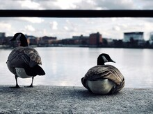 Close-up Of Canada Geese At Lakeshore In City