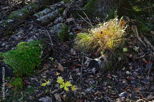 Sonnenstrahl auf Grasbüschel im herbstlichen Wald © si2016ab