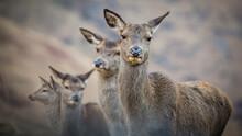 Four Female Deer Standing Clos...