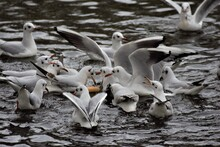 Laughing Gulls Swimming On A L...