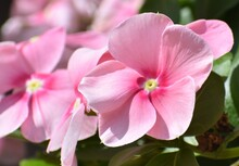Close Up Of A Pretty Pink Periwinkle Flower