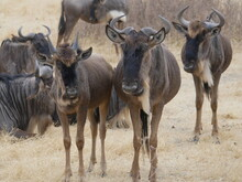 Kleine Gnu Herde In Der Serengeti, Ostafrika, Tansania