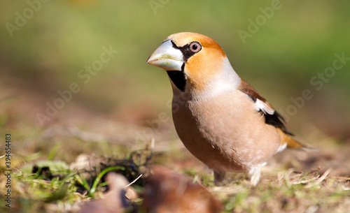 Appelvink, Hawfinch, Coccothraustes coccothraustes Canvas Print