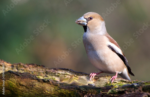 Photo Appelvink, Hawfinch, Coccothraustes coccothraustes
