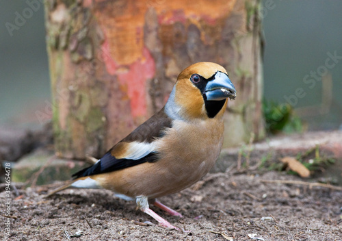 Fototapeta Appelvink, Hawfinch, Coccothraustes coccothraustes