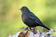 Merel, Common Blackbird, Turdu...