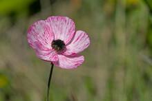 Persian Buttercup - Ranunculus Asiaticus, Crete