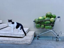 Side View Of Cat Standing By Watermelons In Shopping Cart Against Wall