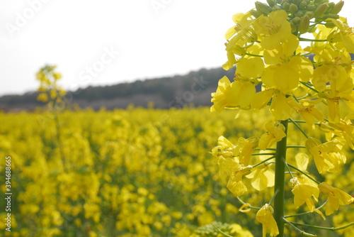 Cuadros en Lienzo 菜の花( rape flowers in full bloom)