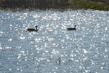 Two Swimming Geese