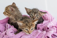 Three Wet Kittens After Bathing Are Wrapped In A Pink Towel