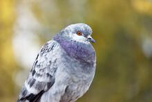 Portrait Of A Pigeon, Dove Clo...