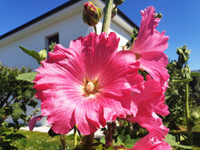 Pink Flower Alcea ( Lavatera, Hibiscus, Mallow, Malva ) Blooms In The Garden Near The House.