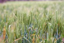 Green Wheat Crop Closeup