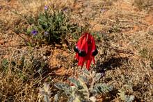 Sturt's Desert Pea In Flower