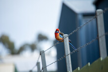 Rosella Sitting On Wire In Urban Area
