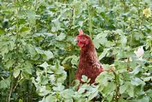 One Brown Free Range Chicken (...