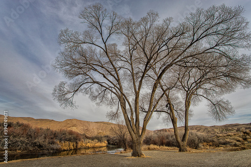 Photo Two Cottonwood Trees on a River Bank in Winter