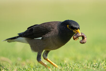 The Common Myna Or Indian Myna In Qatar