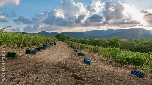 Late evening on a grape plantation Fotobehang