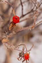 Bright Red And Desiccated Rose...