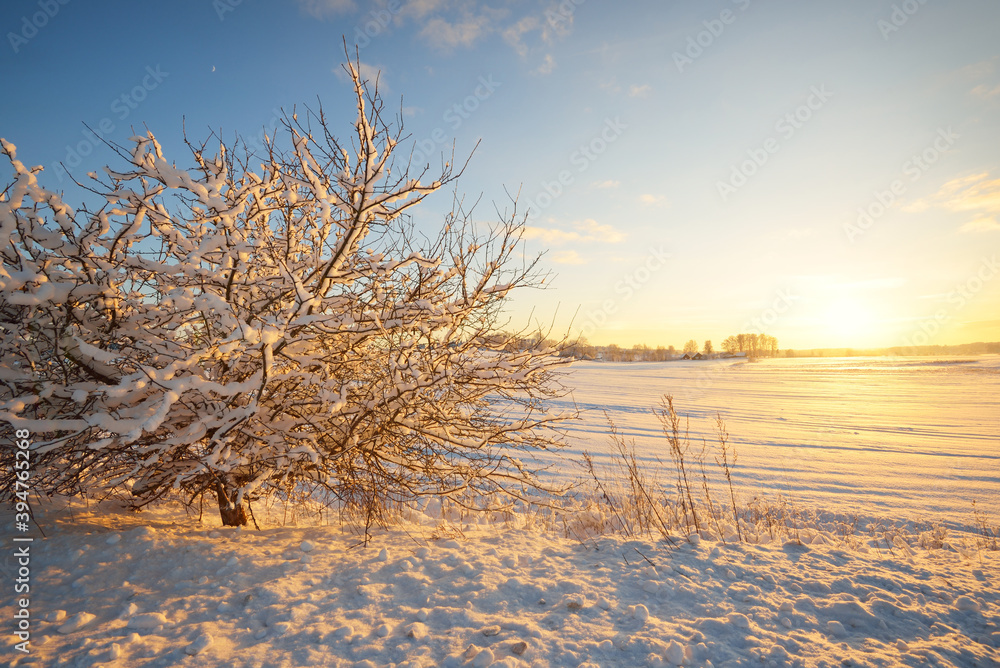Fototapeta Atmospheric landscape of snow-covered forest at sunset. Pure sunlight. Hoarfrost on branches. Winter wonderland. Seasons, ecology, global warming, ecotourism, christmas vacations, graphic resources