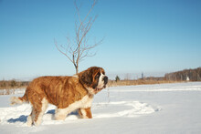 St. Bernard Dog Playing In Snow In The Winter