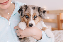 Closeup Of Cute Adorable Miniature Australian Shepherd Puppy. Pet Owner Holding Domestic Animal Dog On Hands Arms. Home Domestic Real Life Together With A Furry Little Friend.