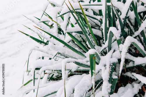 Fototapeta premium Green home plant leaves in flowerbed outdoor under fresh snow. Heavy snowfall and snowstorm in Toronto, Ontario. Snow blizzard and cold winter weather. Beauty in nature.