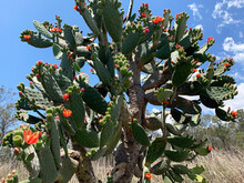 Prickly Pear Cactus With Beautiful Bright Orange Flowers And Thorns