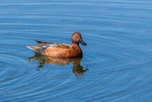 Cinnamon Teal Duck In Water