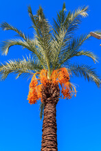 Date Palm Tree (Phoenix Dactyl...