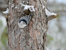 White-breasted Nuthatch On Tree Trunk In Winter