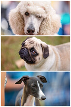 Collage Of Dogs Entered In Cou...