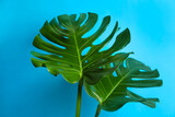 Beautiful monstera leaves on light blue background. Tropical plant