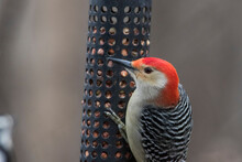 Red-bellied Woodpecker At Feeder