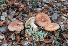 Lactarius Chrysorrheus. Lactarius Mushrooms Of Golden Milk Or False Chanterelle.