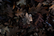 Leaves At Sunset - Photo In Th...