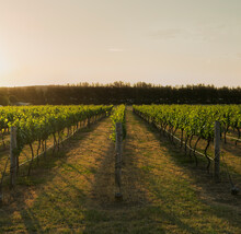 Golden Afternoon Light Shining Through Grapevines In Vineyard