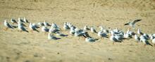 Black-headed Gull (Larus Ridib...